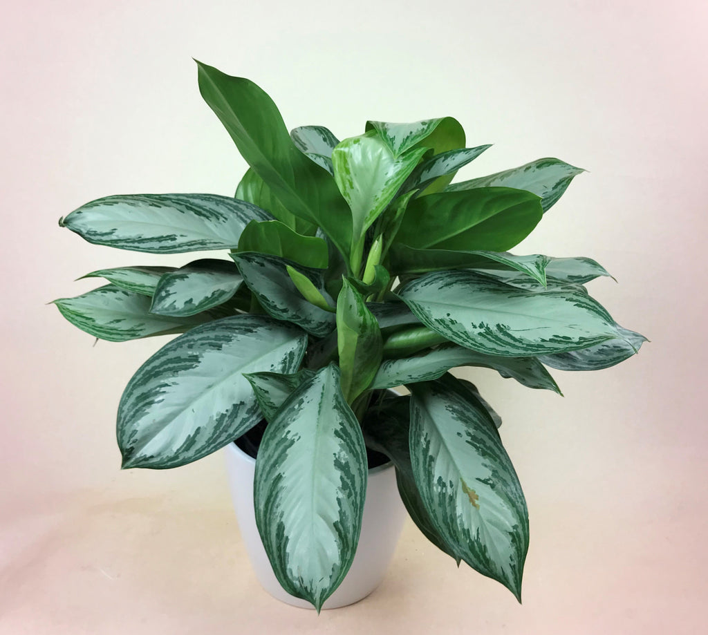 Aglaonema (Chinese Evergreen)