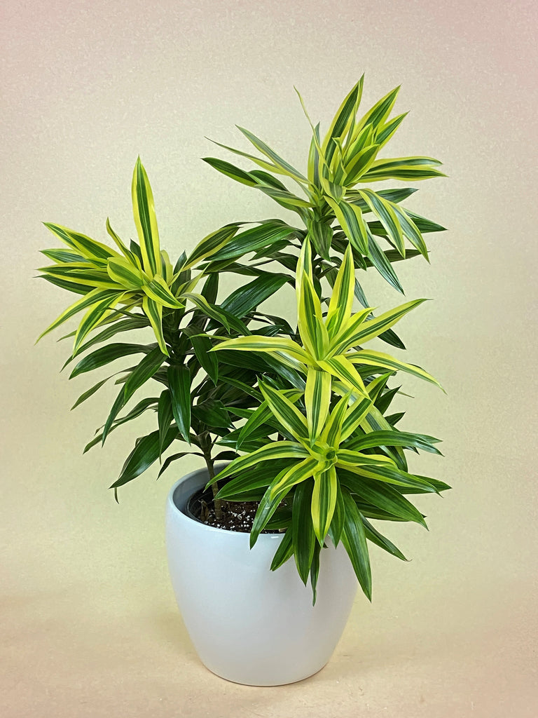 Dracaena Reflexa (Song of Sri Lanka)