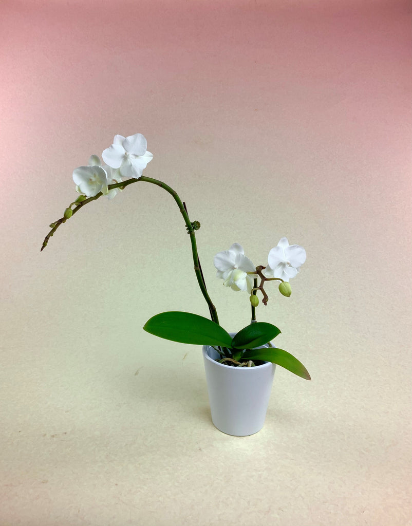 """Pure and Precious"" Mini Orchid"