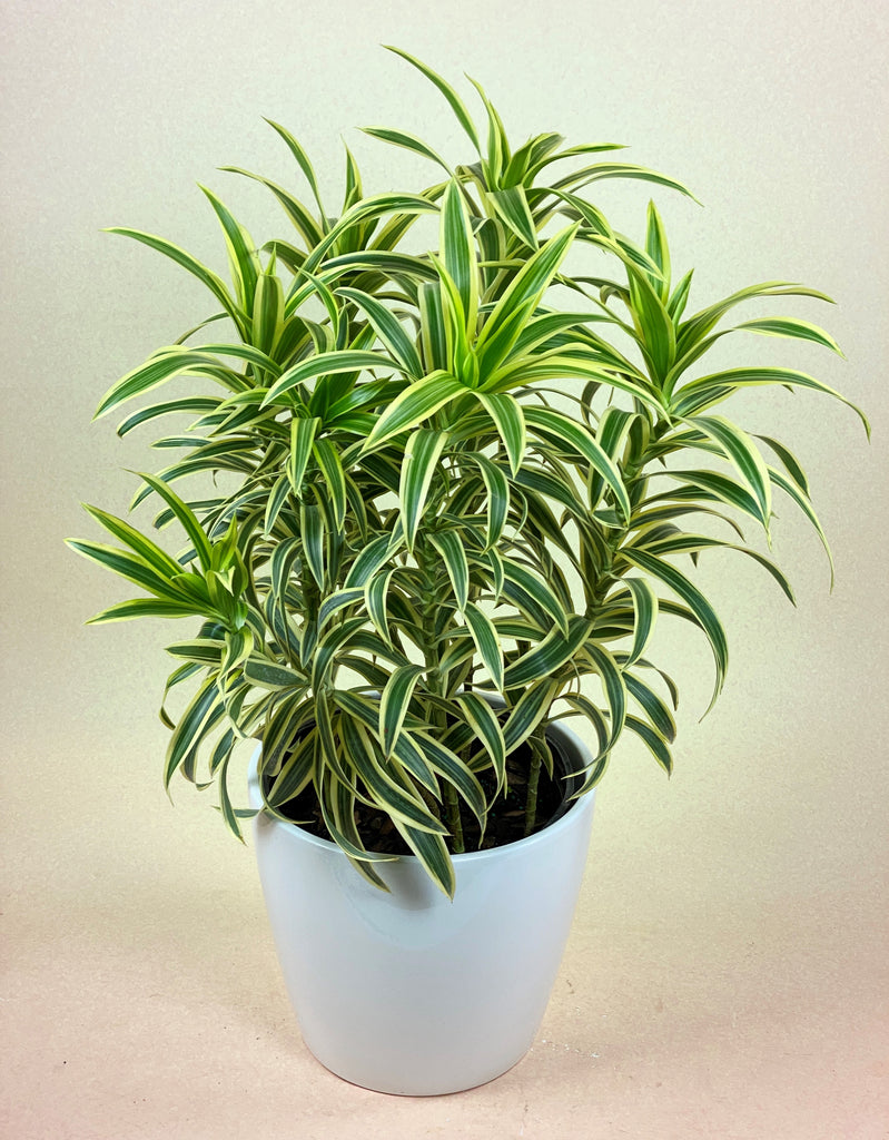 Dracaena Reflexa (Song of India)