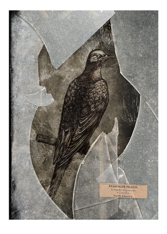 Passenger pigeon – Fine art print, Limited edition