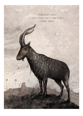 Pyrenean ibex – Fine art print, limited edition