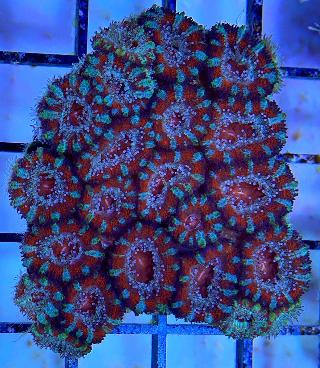 Red Acan Coral