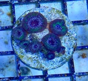 Green/Purple Zoanthid Frag