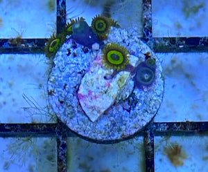 Yellow/Green Zoanthid Frag