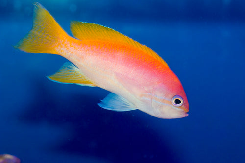 Bartletts Anthias Male
