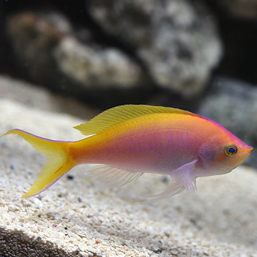 Bartletts Anthias Female
