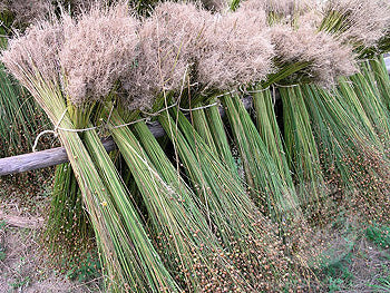 Harvested flax bundles