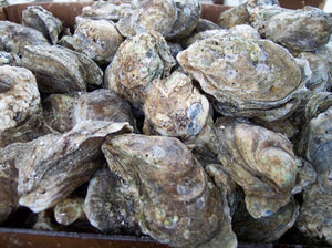 Oysters in the Shell