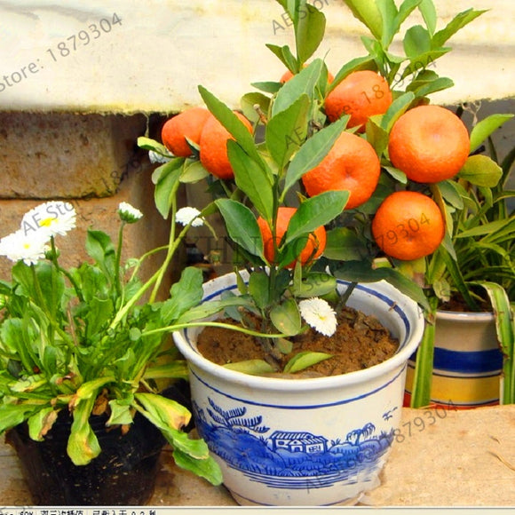 Promotion!Mandarin Orange Dwarf Bonsai Indoors Outdoors Fruit Tree 10pcs+ AA ,#8R7VM4