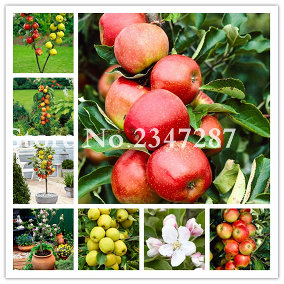 Hot 30 Pcs Dwarf Apple Bonsai, Miniature Apple Tree Indoor & Outdoor Sweet Organic Fruit Vegetable Pot Plant Diy Home Garden