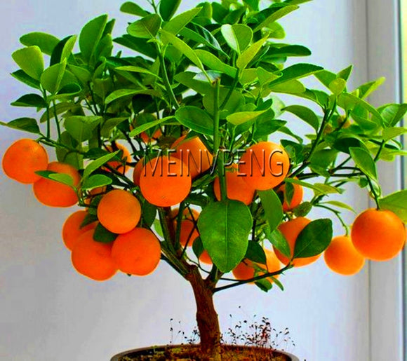 4 kind bonsai fruit tree seeds