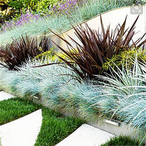 100pcs  pack Blue Fescue Grass Seeds - (Festuca glauca) perennial hardy ornamental grass so easy to grow
