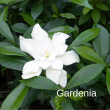Load image into Gallery viewer, Gardenia
