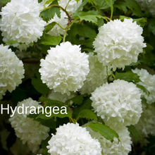 Load image into Gallery viewer, Hydrangea