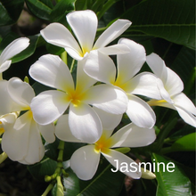 Load image into Gallery viewer, Jasmine
