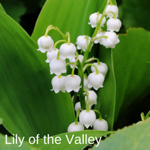 Load image into Gallery viewer, Lily Of The Valley