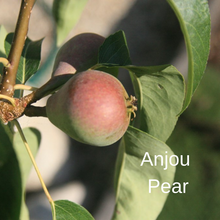 Load image into Gallery viewer, Anjou Pear