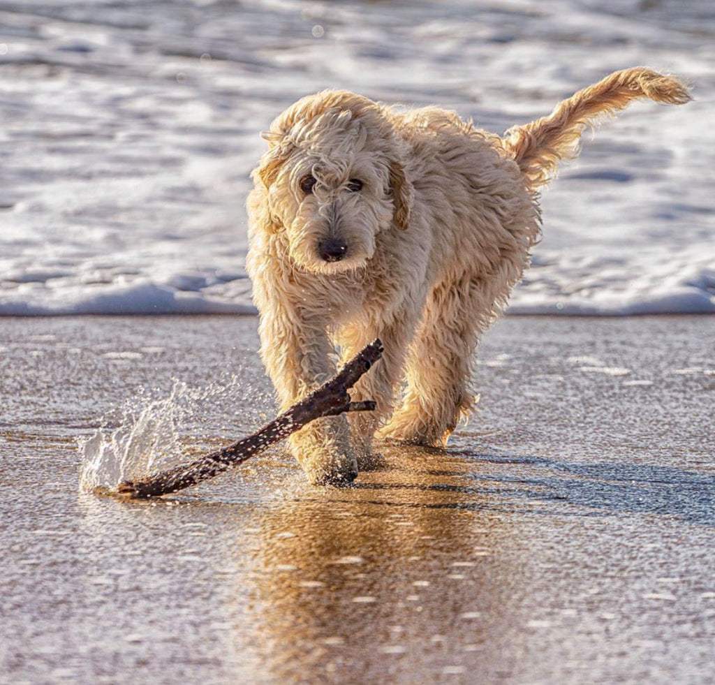 Surfdog Australia drying coats and other cool products for dogs that love the beach