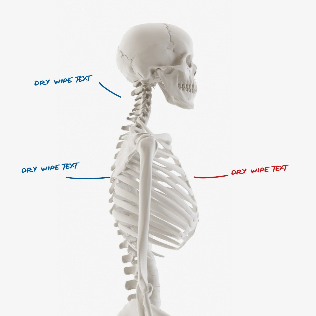 Human Skeleton Side View Dry Wipe