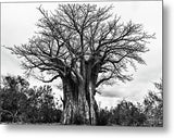 Giant Baobab Tree In Black And White - Metal Print