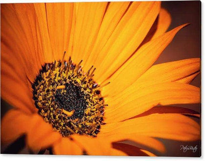 Orange Daisy Flower - Perspex Print