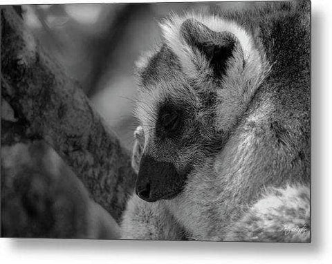 Resting Ring-tailed Lemur - Framed Print