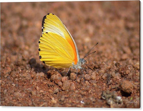 Yellow And Orange Butterfly - Perspex Print