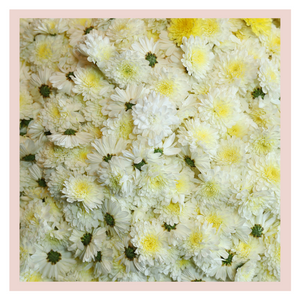 White Sevanthi Chrysanthemum puja or pooja rose bazaar farm fresh flowers