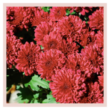 Load image into Gallery viewer, Chrysanthemum Box