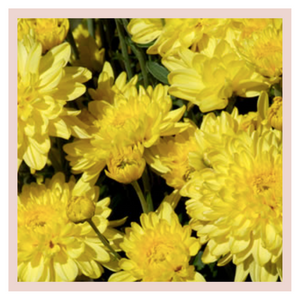 Chrysanthemum Box