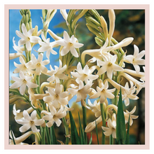 Load image into Gallery viewer, Tuberose/Rajnigandha, home decor flowers by Rose Bazaar