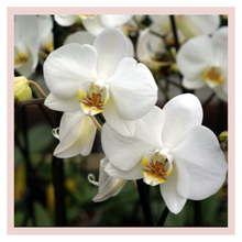 Load image into Gallery viewer, Orchids