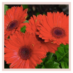 Rose Bazaar, Gerbera, Home decor, Subscription, home delivery, flower, flowers, beautiful, bouquet