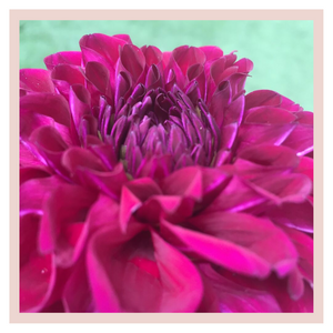 Dahlia puja or pooja farm fresh flower rose bazaar