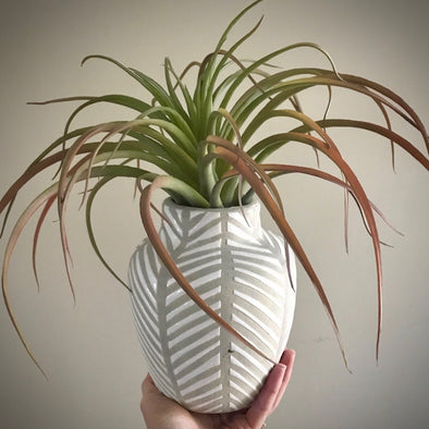 Tan/White vase w/ airplant