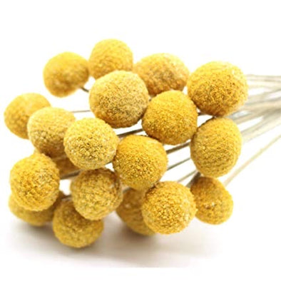 Preserved Billy Buttons