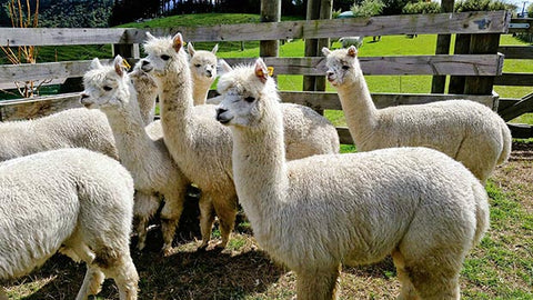 alpaca, thisnzlife.co.nz/learn-basics-alpaca-farming-new-zealand/