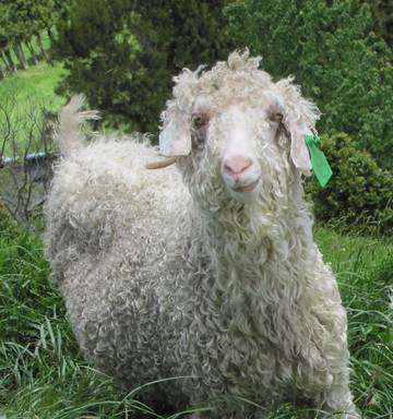 Picture from Northland Age. Angora Goat