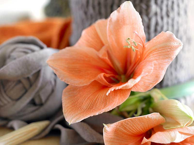 8 Frequently Asked Questions for Your Holiday Flowering Amaryllis