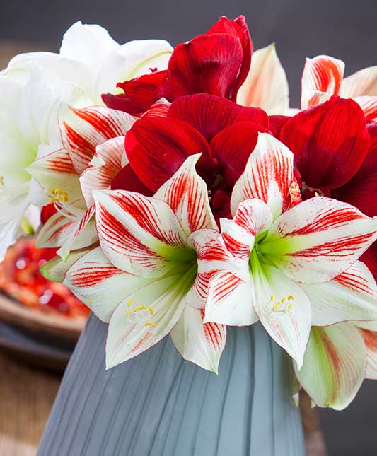 Amaryllis After Care