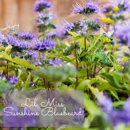 Lil Miss Sunshine Bluebeard Caryopteris