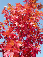 Autumn Blaze Maple - Mori Gardens