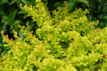 Barberry Sunsation - Mori Gardens