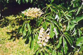 Yellow Buckeye