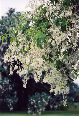 Yellowwood Tree - Mori Gardens