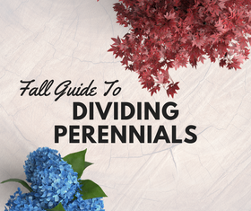 Guide To Dividing Perennials In The Fall