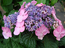 Twist-n-Shout Endless Summer Hydrangea - Mori Gardens