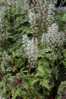 Tiarella 'Sugar And Spice'  Foamflower - Mori Gardens