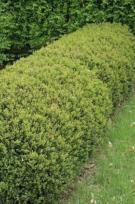 Green Gem Boxwood - Mori Gardens